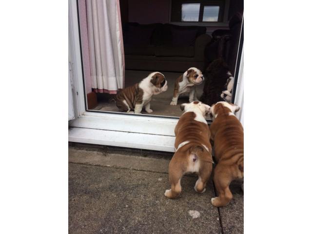 Adoptar Cachorros Bulldog Inglés de 12 Semenas - 3/3