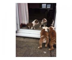 Adoptar Cachorros Bulldog Inglés de 12 Semenas