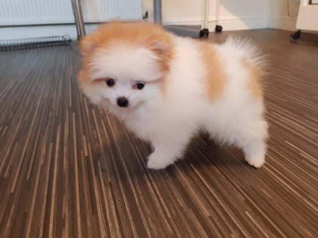 Preciosas cachorros de Teacup Pomeranian - 1/1