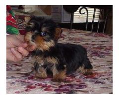 Yorkie Terrier Cachorros  para adopción