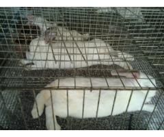 conejos pie de cria 1ra linea