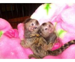 bebés monos