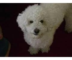 Vendo Perrita y perrito Poodle Original