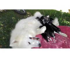 cachorros husky con alaska malamute