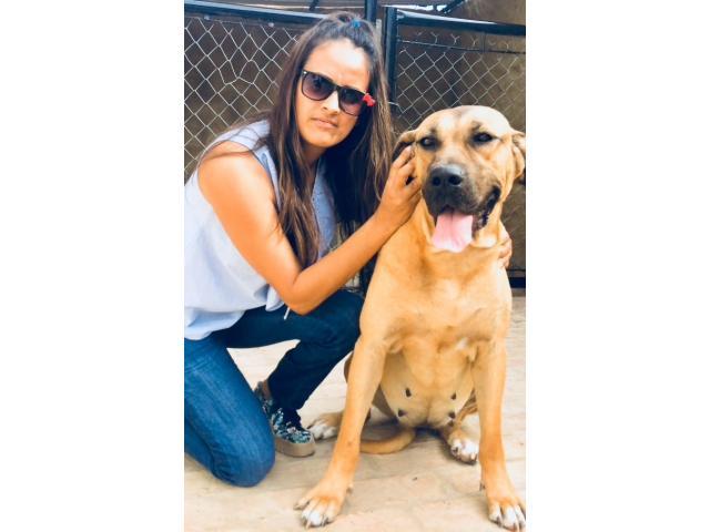 Se vende cachorros fila brasilero - 2/3