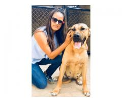 Se vende cachorros fila brasilero
