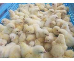 venta de pollito bb y pollo benefiaciado - Imagen 4/6