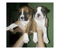 vendo cachorros boxers