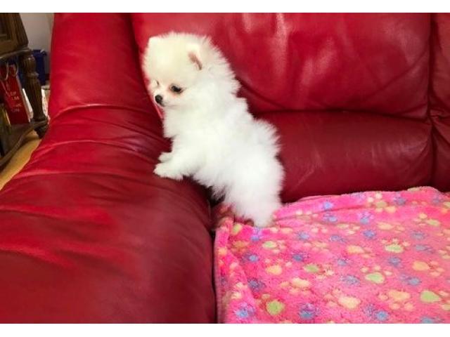 Cachorro de Pomerania inestimable blanco - 1/2