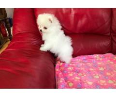 Cachorro de Pomerania inestimable blanco - Imagen 1/2