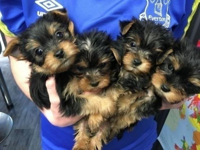 cachorros yorkshire terrier mini toy con pedigree - - 1/1