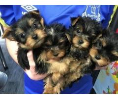 cachorros yorkshire terrier mini toy con pedigree -