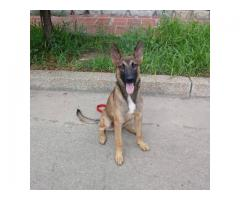 Cachorro pastor belga malinois 6 meses