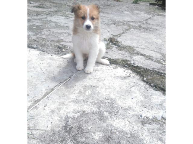 Venta bellos cachorros varias razas - 2/4