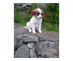 Venta bellos cachorros varias razas - Imagen 4/4