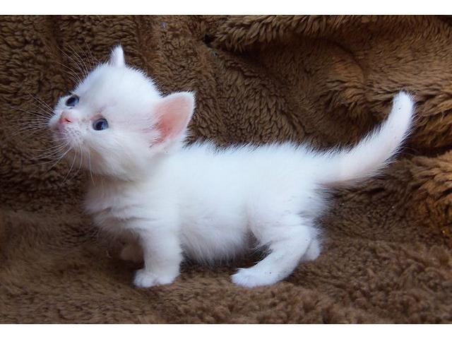 gatitos munchkin para la venta - 2/3