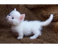 gatitos munchkin para la venta
