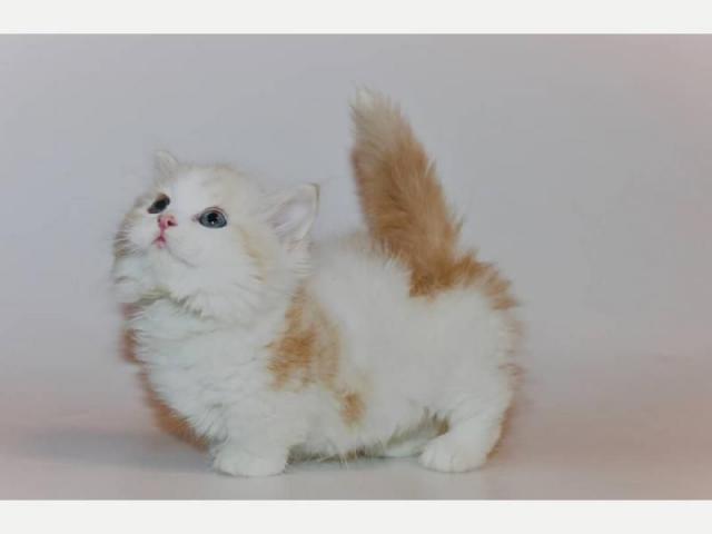 gatitos munchkin para la venta - 3/3