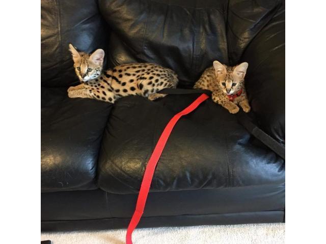 Sobresalientes gatitos de Savannah Disponible tica registrada - 1/4