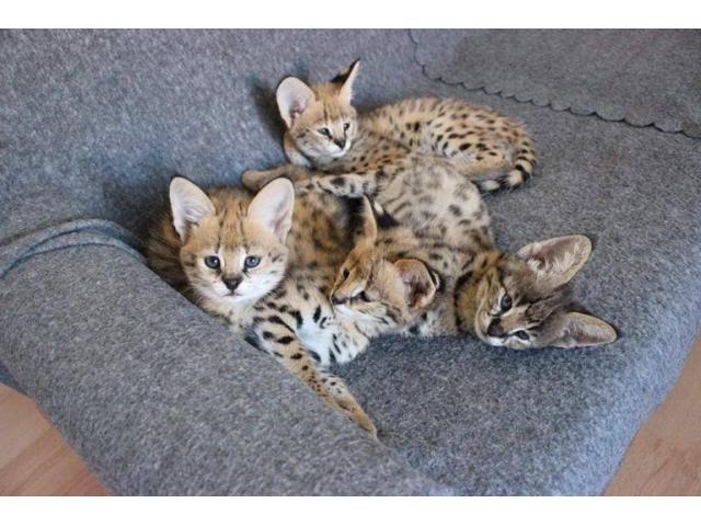 Sobresalientes gatitos de Savannah Disponible tica registrada - 2/4