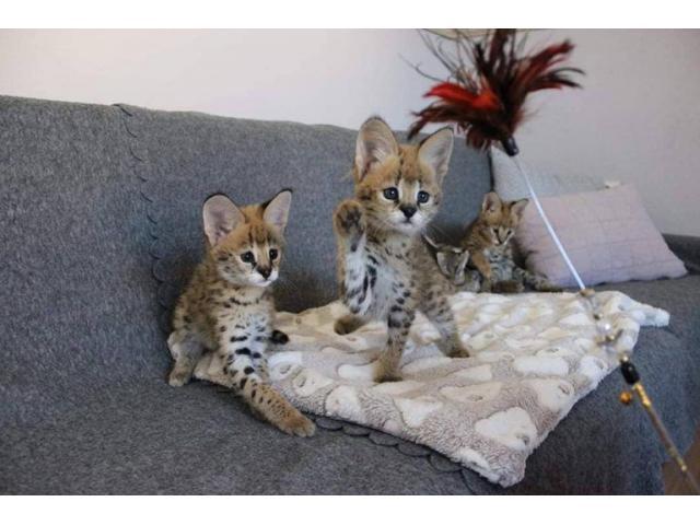 Sobresalientes gatitos de Savannah Disponible tica registrada - 3/4