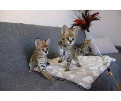 Sobresalientes gatitos de Savannah Disponible tica registrada