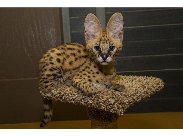 Sobresalientes gatitos de Savannah Disponible tica registrada - 4/4