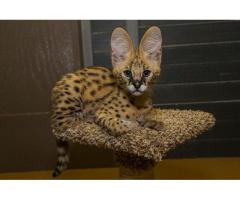 Sobresalientes gatitos de Savannah Disponible tica registrada - Imagen 4/4
