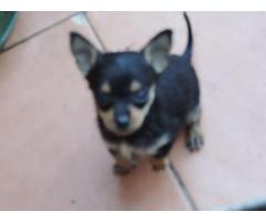 Cachorros Chihuahua Mini Toy