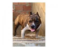 Cachorro pitbull macho