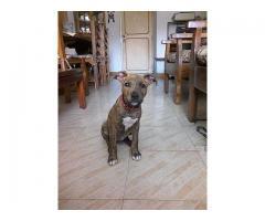 cachorra pitbull de 5 meses vacunada
