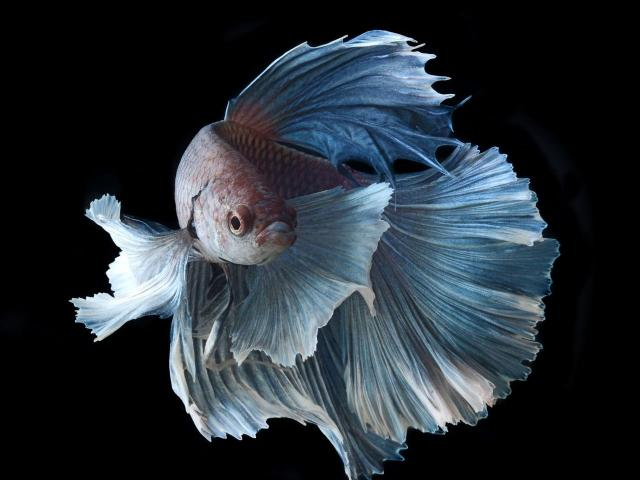 Hermosos bettas - 1/2