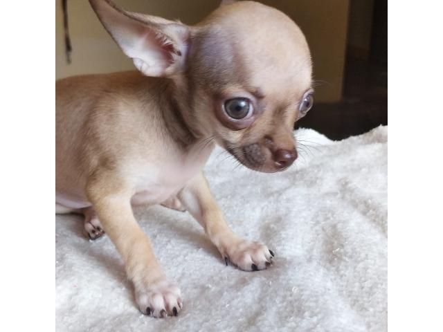 Chihuahua cachorros - 1/3