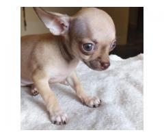 Chihuahua cachorros