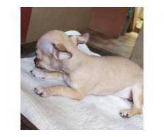 Chihuahua cachorros - Imagen 2/3