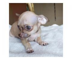 Chihuahua cachorros - Imagen 3/3
