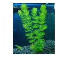 cola de zorro planta natural para acuarios y estanques