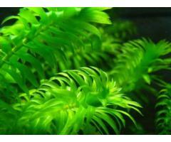 elodeas plantas natural para acuarios y estanques