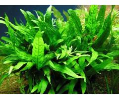 espada amazónica planta natural para acuarios
