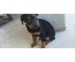 Cachorros Rottweiler en venta