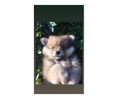 Venta cachorros Pomerania