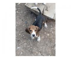 Hermosos cachorros Beagle tricolor Puro con Azul de Cascuña.