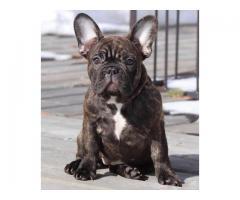 Bulldog francés hembra registrado (Snowy)