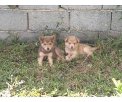 Cachorras Huskys Siberiano