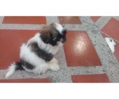 Cachorros Raza Pequeña Shih Tzu / Shitzu Excelentes Precios
