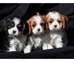 preciosos cachorros cavalier king charles spaniel disponibles