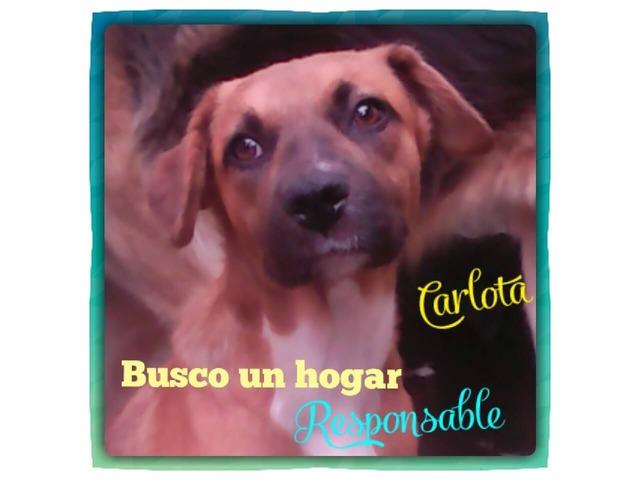 Perritos En Adopción Buscan Hogar Cálido Y Responsable - 4/6