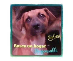 Perritos En Adopción Buscan Hogar Cálido Y Responsable - Imagen 4/6