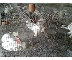 conejos con jaula