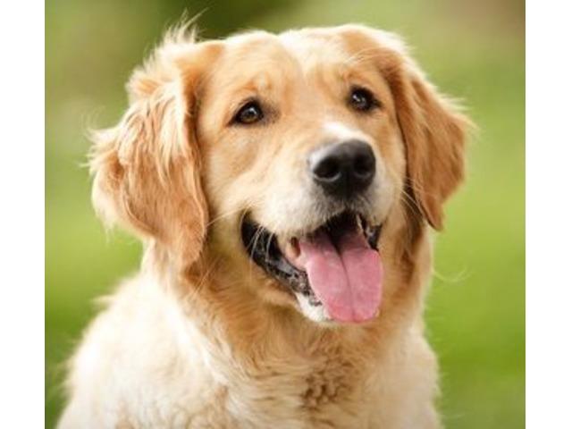 peluqueria canina para Golden Retriever - 1/4